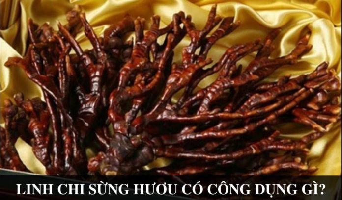Nam linh chi sung huou Cong dung va cach dung nhu the nao